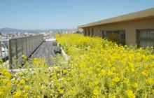 菜の花が美しい 屋上緑化庭園