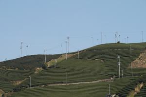 「和楽の茶畑」京都府景観資産登録第一号